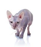 Katze Brut der Don-Sphynx lizenzfreie stockfotos