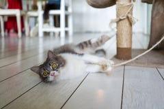 Katze in Cat Cafe in Ubud Stockfoto
