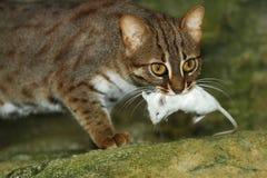 Katze Ceylon Stockfotografie