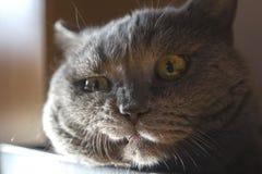 Katze der britischen Zucht liegt in einem Kasten lizenzfreies stockbild