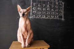 Katze der Don Sphynx-Zucht sitzt auf einem Stuhl auf einer dunklen Tafel Stockbild