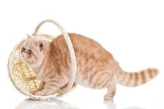 Katze der exotischen Kurzhaarkatze. Entzückend stockfotografie