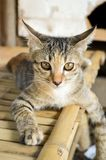 Katze der getigerten Katze auf Bambusboden Stockfotografie