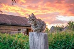 Katze der getigerten Katze bei Sonnenuntergang im Dorf lizenzfreies stockbild