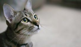Katze der getigerten Katze betrachtet etwas neugierig im Recht Stockbilder