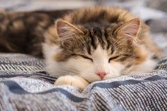 Katze der getigerten Katze, die auf blauer Daunendecke schläft Stockbild