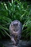 Katze der getigerten Katze, die in den Garten geht stockfotos
