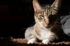 Katze der getigerten Katze, die in der Sphinxhaltung liegt und direkt Kamera betrachtet lizenzfreie stockfotos