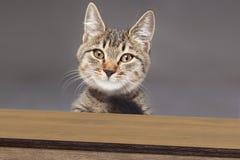 Katze der getigerten Katze, die unten späht und schaut Lizenzfreie Stockfotos