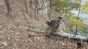Katze der getigerten Katze im Wald stock video footage