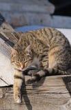 Katze der getigerten Katze Lizenzfreie Stockfotografie