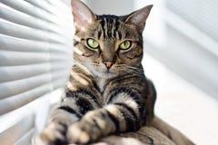 Katze der getigerten Katze auf Trainer Lizenzfreie Stockfotos