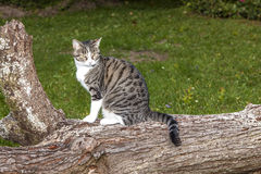 Katze der getigerten Katze, die auf einem Baumstamm sitzt Lizenzfreie Stockfotografie