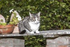 Katze der getigerten Katze, die auf einer Tabelle sitzt Lizenzfreies Stockbild