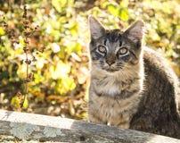 Katze der getigerten Katze draußen Lizenzfreie Stockfotografie