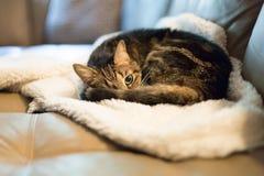 Katze der getigerten Katze kräuselte sich oben auf weißer flaumiger Decke stockfotos