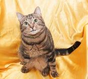 Katze der getigerten Katze mit dem lustigen kleinen Gesicht, das im Stuhl, oben schauend sitzt Lizenzfreie Stockbilder