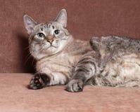 Katze der getigerten Katze mit den blauen Augen, die auf Couch liegen Stockbild