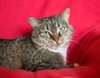 Katze der getigerten Katze mit grünen Augen Stockfotografie