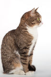 Katze der getigerten Katze mit grünen Augen auf Hintergrund Lizenzfreie Stockfotografie