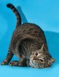 Katze der getigerten Katze reibt Gesicht auf dem Boden auf Blau Stockfotografie