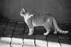 Katze der getigerten Katze in Schwarzweiss Stockbild