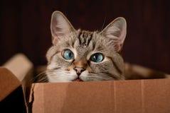 Katze der getigerten Katze mit blauen Augen Lizenzfreie Stockfotografie