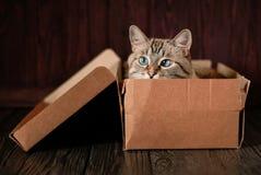 Katze der getigerten Katze mit blauen Augen Stockfotos