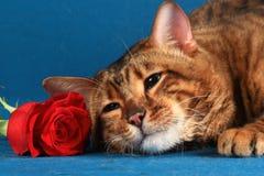 Katze der getigerten Katze und stieg auf einen blauen Hintergrund Lizenzfreie Stockfotografie