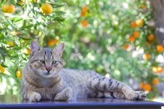 Katze der getigerten Katze unter Zitronenbaum Lizenzfreie Stockfotos