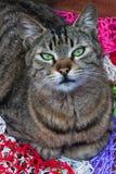 Katze der grünen Augen Lizenzfreies Stockbild