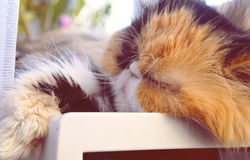 Katze der persischen Zucht an einem Fensterabschluß oben Lizenzfreie Stockfotografie