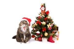 Katze in der roten Weihnachtsschutzkappe sitzen durch Weihnachtsbaum Stockfoto