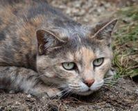 Katze der Schildpattgetigerten katze, die sich unten ungefähr duckt, um sich zu stürzen stockbild