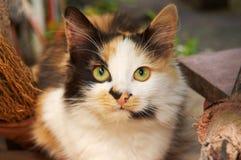 Katze der Three-color Hexen lizenzfreie stockbilder