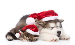 Katze des alaskischen Malamute Hunde- und Maine-Waschbärmit roten Sankt-Hüten zusammen schlafend Lokalisiert auf Weiß Stockbild
