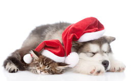 Katze des alaskischen Malamute Hunde- und Maine-Waschbärmit roten Sankt-Hüten zusammen schlafend Lokalisiert auf Weiß Stockfotos