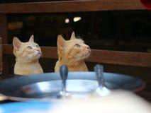 Katze des gelbes Gold zwei, die auf dem Stuhl sitzt und nach etwas sucht lizenzfreie stockbilder
