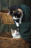 Katze des Kalikos zwei, die zusammen spielt Stockbild
