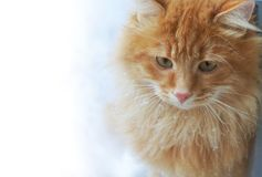 Katze des roten Ingwers in der Schneenahaufnahme stockfoto