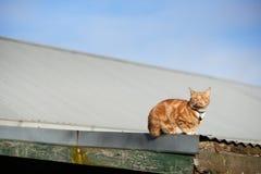 Katze des roten Ingwers, die auf ein Eisendach mit seinem Gesicht gerade verwiesen an der Sonne legt stockbild