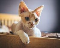 Katze - Devon Rex Stockbild