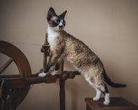 Katze - Devon Rex Stockbilder