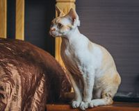 Katze - Devon Rex Stockfotografie
