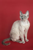 Katze Devon-Rex Lizenzfreies Stockfoto