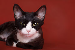 Katze Devon-Rex Stockfotografie