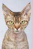 Katze Devon-Rex. Nahaufnahmeportrait Lizenzfreie Stockfotos