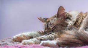 Katze, die über purpurrotem und blauem Hintergrund schläft Stockfoto