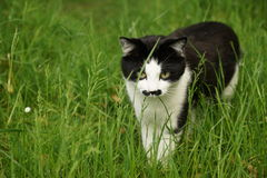 Katze, die angespannt aufpasst Stockbild