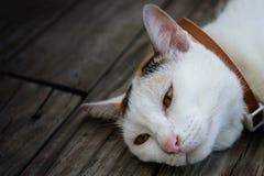 Katze, die auf Bretterboden sich entspannt Stockfotos